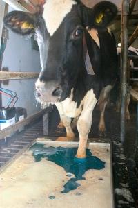 HoofMax footbath additive by AgroChem