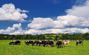 Cows in Summer (Hoof Care), dairy hoof health