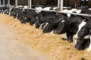 heifer hairy heel wart, dairy hoof health