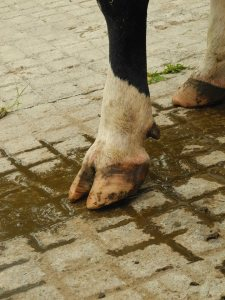 dairy cow hoof health