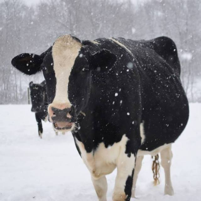 HolsteininSnow